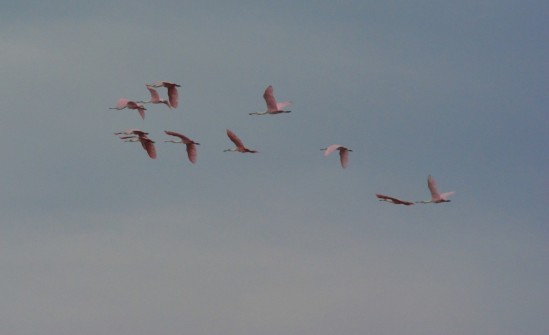 Flock of Spoonbills
