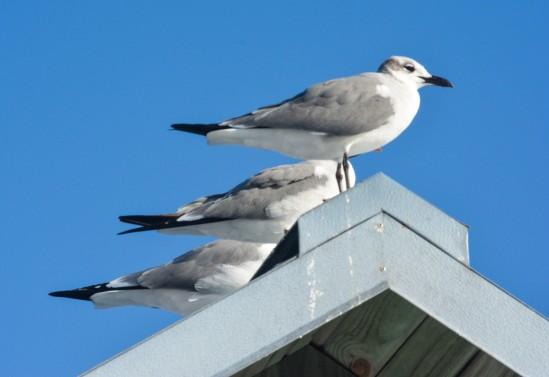 Attack Gulls