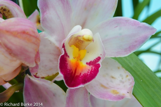 Jerry's Pink Orchid