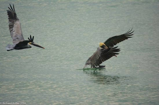 Pelicans at Ding Darling