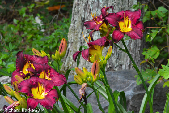 Plethora of Lilies