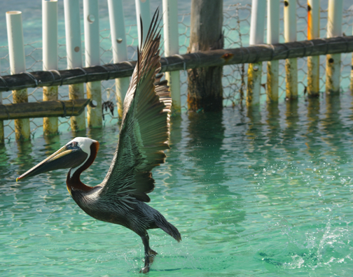 A Skipping Pelican