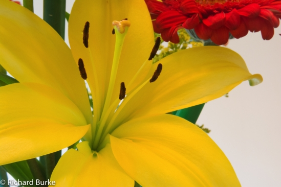 yellowlilly