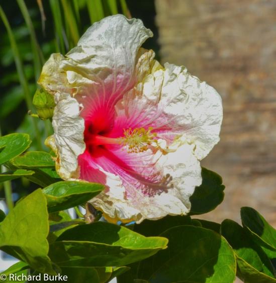 Camellia