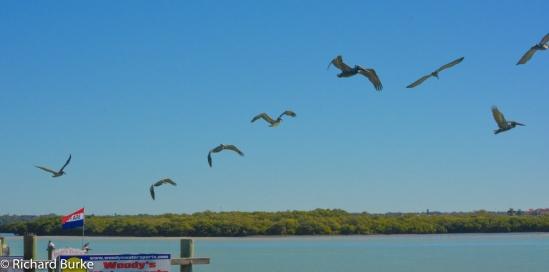 The Pelican Line