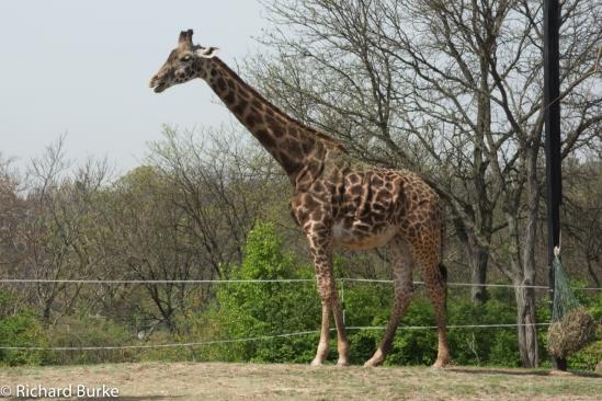 Pittsburgh Giraffe