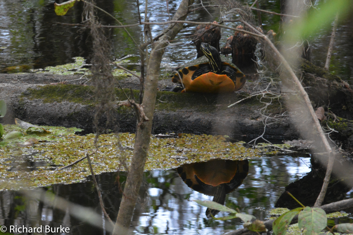 Dozing Turtle