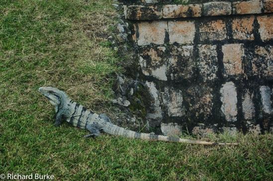 UNESCO Iguana