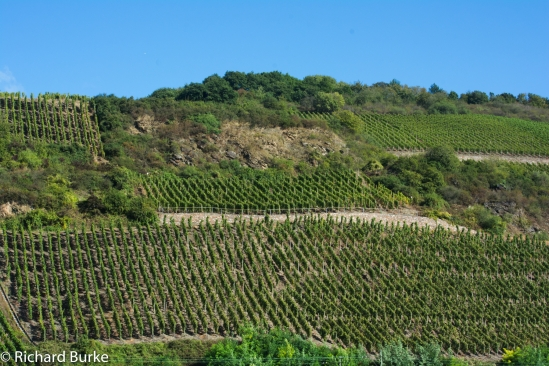 Vines along the Rhine