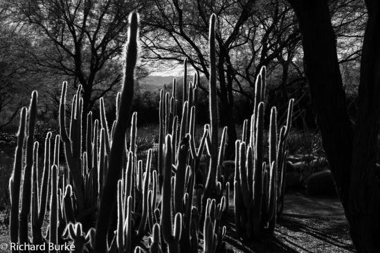 Goal Post Cactus